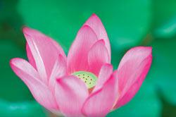 Lotus1.jpg?width=200