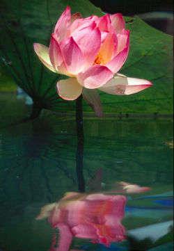 250px-Lotus_wasser.jpg?width=200