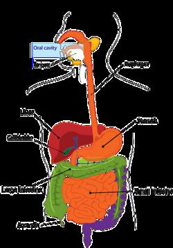 physiologische darmflora
