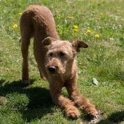 Hund Irish Terrier.jpg